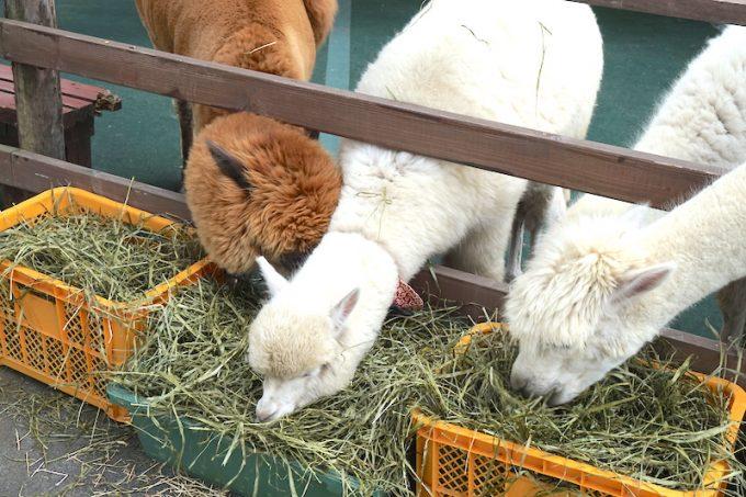 餌を食べているアルパカ