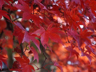 お寺の鮮やかな紅葉を楽しむ旅